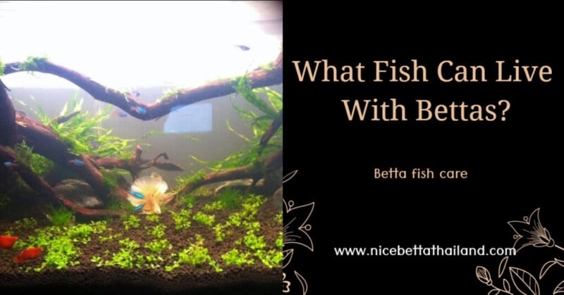 what-fish-can-live-with-bettas_-1024x536