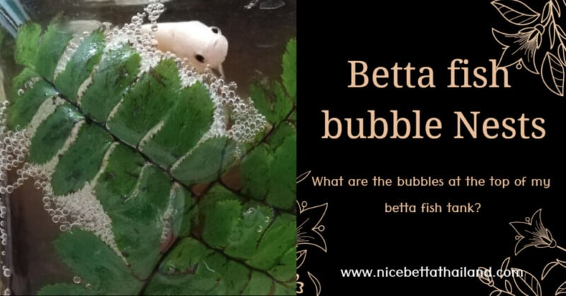 what-are-the-bubbles-at-the-top-of-my-betta-fish-tank_-1024x536
